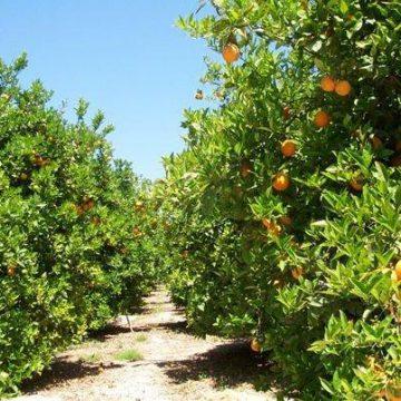 Els Reigs Mags defensen la taronja valenciana en Tavernes