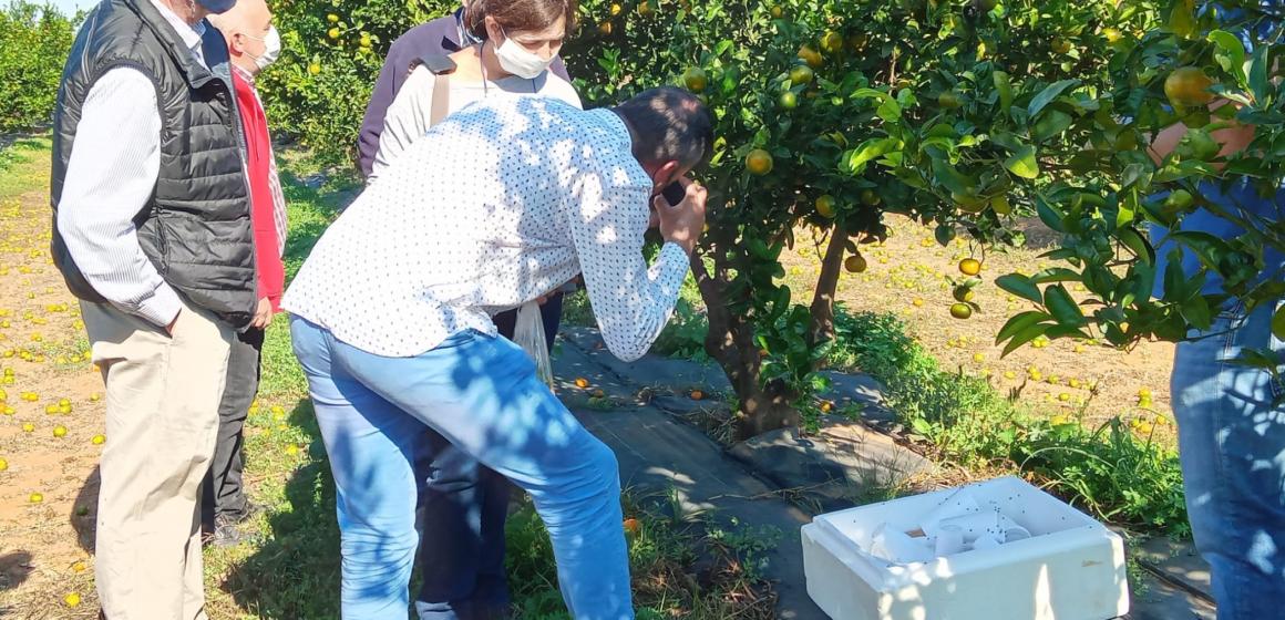 Oliva lluita contra el cotonet que danya els cítrics
