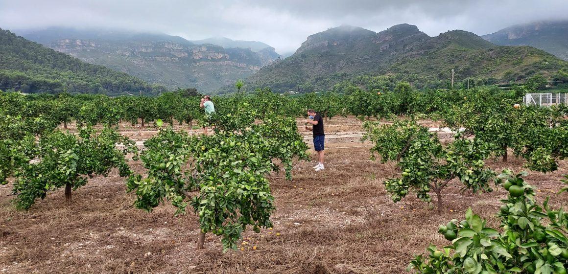 Xeraco subvenciona la solta de Cryptolaemus per combatre la plaga del cotonet de Sud-àfrica en el camp