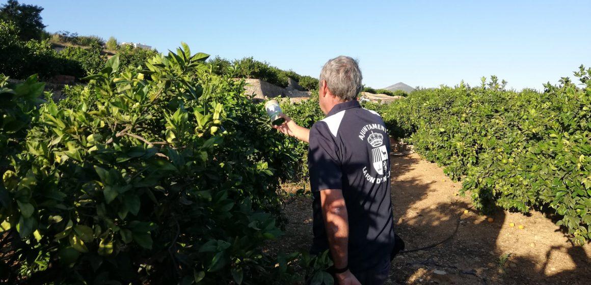 La Font d'En Carròs comença un projecte de solta del parasitoide que combat el cotonet de Sud-Àfrica